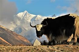 Vincent Rudolph photographed a yak in the Nepalese mountains during his stay abroad.